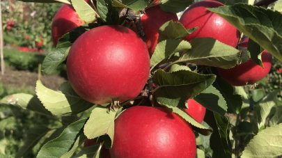 NLR frukt grupperad