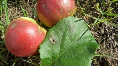 Skurv pa eple og blad 2020 Oko
