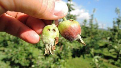 10 larveangrep eple